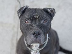 SAFE 04/17/15 by Mr. Bones and Co. --- LUCY – A1032640  FEMALE, BLACK / WHITE, PIT BULL, 3 yrs STRAY – STRAY WAIT, NO HOLD Reason STRAY Intake condition ILLNESS Intake Date 04/09/2015