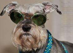 Goofy Goggles by SG Callaway #Miniature #Schnauzer