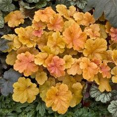 Christa Coral Bells Strong orange color and compact habit. New leaves are rose purple with a peach underlay. Peachy orange color dominates with maturity. Shade Perennials, Shade Plants, Garden Shrubs, Shade Garden, Coral Bells Heuchera, Light Pink Flowers, Border Plants, Foliage Plants, Plantation