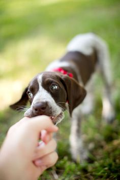 www.JohnCainPhotography.com  German Shorthaired Pointer Puppy