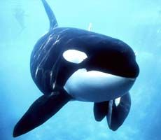 Adopt a wild killer whale to help support our vital research via www.killerwhale.vanaqua.org