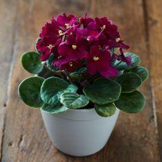 30 easy houseplants - easy to care for indoor plants African Violets, Plants, Iron Plant, House Plants Indoor, Diy Plants, Flower Pot Design, Plant Decor, Small Indoor Plants, Indoor Plants