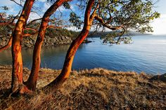 PACIFIC MADRONE TREE  | Pacific madrona trees on Orcas Island shoreline, San Juan Islands ...