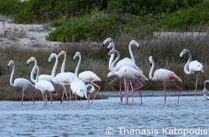 Flamingos στη λιμνοθάλασσα. 24/09/2016.