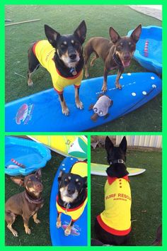 "Jess Fuentes - ""Happy Australia Day from my two Kelpie sheila's Bindi and Flick...and their mate Squeeks the platypus. #thedogline"""