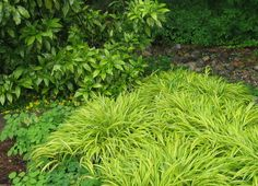 Hakonechloa Grass doesn't bloom, but its gold foliage looks great all season and the dried foliage looks lovely in the winter, too.