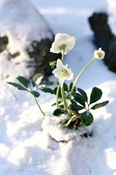 All Gardenista garden design and outdoors inspiration stories in one place—from garden tours and expert advice to product roundups. Lenten Rose, Snow Flower, Christmas Rose, Winter Magic, Winter Flowers, Winter Colors, Winter Scenery, Winter Beauty, Types Of Flowers