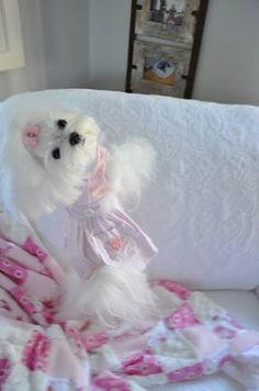 Sweet little girl Maltese