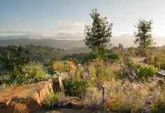 Spectacular views, bourndlers and wispy grasses - Reclamation of Native Oak Ridge, Design David Thorne LA, Oakland CA