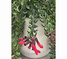 Aeschynanthus - Schamblume 'Twister' - shadow plant