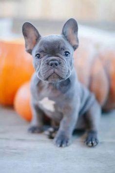 Blue Brindle French Bulldog