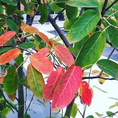 Herfst kleuren op de kwekerij #zeeland #amelanchier #herfst #indiansummer #veere #grijpskerke #tuintrends #meerstammig #tuin #planten #garden #buitenleven #buitenkijken