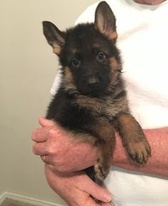 720 Best Gsd Puppies Images In 2019 German Shepherd Puppies