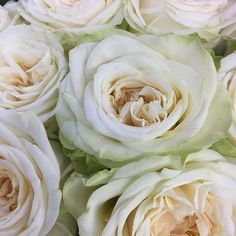 Alabaster Garden Rose | Garden Roses | Pinterest | Gardens, White Gardens  And Flowers