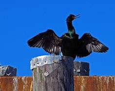 I love taking photos on my nightly walks with my dog.  This was a cormorant taken at Sidney Pier in Sidney, BC