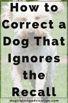 Dog Training Chewing Is Your Dog Ignoring Your Recall? Heres How to Correct It. Training Chewing Is Your Dog Ignoring Your Recall? Heres How to Correct It. Dog Training Treats, Best Dog Training, Dog Treats, Training Pads, Training Videos, Service Dog Training, Training Academy, Training Collar, Potty Training