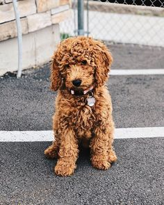 full grown mini goldendoodle 1 year old Daisy Mini
