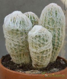 Types Of Succulents, Cacti And Succulents, Cactus Names, Rat Tail Cactus, Baby Cactus, Cactus Plante, Cactus Embroidery, Desert Photography, Purple Plants