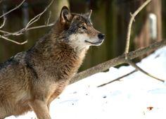 Der Wolf....kein Lahm....kein Habicht....auf der grünen Wiese....Hurrrz! ;-)