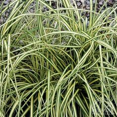 Carex oshimensis 'Evergold' Variegated Japanese Sedge USDA Zone: OHIO is (Sometimes listed as Carex morrowii 'Aureovariegata') Sedges are grass-like plants, mostly preferring sites with moist, rich soil. All Plants, Growing Plants, Garden Plants, Japanese Red Maple, Pocket Garden, Best Perennials, Variegated Plants, Plant Nursery, Ornamental Grasses