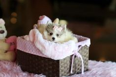 ♥♥♥ Teacup Pomeranian! ♥♥♥ Bring This Perfect Baby Home Today! Call 954-353-7864 www.TeacupPuppies... ♥ ♥ ♥ TeacupPuppiesStore - Teacup Puppies Store Tea Cup