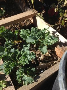 Winter Kale has been planted in 8 squares and is starting to take off.  We plan to dehydrate this and make chips out if it in Februrary.