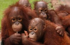 These young orangutans were rescued after losing their mothers to hunters and losing their homes to loggers