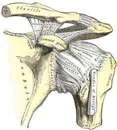 AC (acromioclavicular) joint