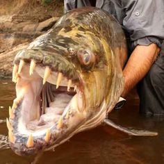 Demon Fish  This monster animal is believed to be the most dangerous predator of the in the jungles of Congo. It is most commonly referred to as Goliath Tiger Fish. It can swim as well as survive on the land. The entire body of this animal is covered with an armor plating and thick fiber of muscle.