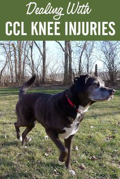If your dog is facing ACL/CCL knee surgery, check out my recovery tips!  #dogs #doghealth #kneeinjuries
