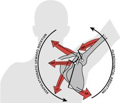scapular stabilizers muscles - Google Search