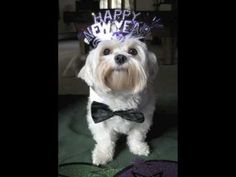 Funny video of dogs and cats pictures for New Years! Funny puppies and cute kitties celebrating the holidays! Funny pictures of pets, dogs dressed up & cats wearing party outfits! Super Cute Video!!! Happy New Year! The cutest party animals!