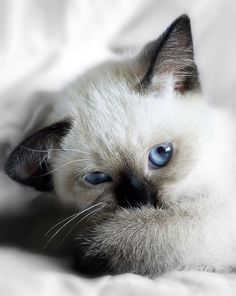 Cute And Furry Animals Photography - Siamese Kittens - Ideas of Siamese Kittens - Cute And Furry Animals Photography The post Cute And Furry Animals Photography appeared first on Cat Gig. Cute Kittens, Siamese Kittens, Baby Kittens, Cats And Kittens, Bengal Cats, Ragdoll Cats, Big Cats, Pretty Cats, Beautiful Cats
