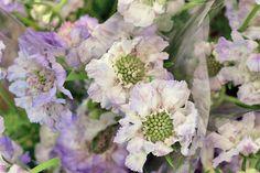 Purple scabious (scabiosa caucasia) at New Covent Garden Flower Market - July 2014