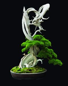 sculptural - bonsai-I can't begin to tell you how many of these beautiful plants I have send to the great beyond. I really love them though...maybe I kill them with kindness.