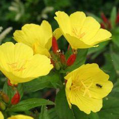 Wiesiołek missouryjski Oenothera macrocarpa Cool Photos, Amazing Photos, Around The Worlds, Flowers, Plants, Diana, Twitter, Beauty, All Flowers