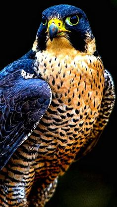 Exhibit A. [internal dialogue] Well, that just looks stupid. AS IF there's a royal-blue-and-orange raptor. This looks quite a lot like a Peregrine falcon. I wonder if the original picture will be easy to find... [searching] Dum-de-dum-de-dum... Ha! Got it! Next slide, please.