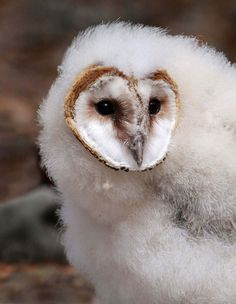 funnywildlife:  Barn Owl Chick by Variegated Vibes (Home again- catching up) on Flickr.