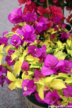 Bougainvillea is a riot of color. It's a very popular landscape plant here in Southern California. I share everything I know about it. There's a video too.