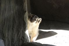 American Badger  ( Taxidea Taxus )