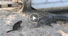 Dócil Gato Enfrenta 2 Crocodilos Para Proteger Os Seus Donos http://www.funco.biz/docil-gato-enfrenta-2-crocodilos-proteger-os-seus-donos/