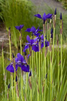 Caesar's Brother Siberian Iris - Monrovia - Caesar's Brother ...