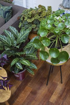 A Chinese Money Plant, Calathea orbifola, and peacock prayer plant in Jamie's Jungle.