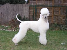 The German Trim - Page 3 - Poodle Forum - Standard Poodle, Toy Poodle, Miniature Poodle Forum ALL Poodle owners too!
