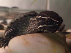 My musk turtle tony! Search amazing animals!