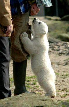 "Polar bear cub, ""Do you have any seal flavored treats?"""