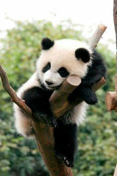 I LOVE PANDA'S. We went to the Atlanta zoo just so I could feed the Panda's but we were a day late. They are so fluffy and (look) cuddly. Cute Baby Animals, Animals And Pets, Funny Animals, Nature Animals, Wild Animals, Panda Love, Cute Panda, Panda Panda, Panda China