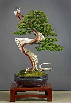 Juniper-Bonsai. Bonsai-art, bonsai-tree, bonsai-Japan, bonsai.
