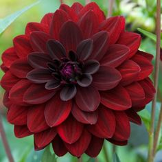 Dahlia Arabian Night - Sultry 4 inch blooms that are a deep purple maroon - almost black