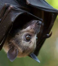 Bats are incredible. They're blind but detect movement by sonar